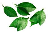 Fototapeta Kawa - Citrus leaves isolated on white, paths