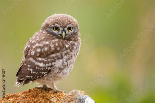 Naklejki Sowa   little-owl-athene-noctua-sitting-on-a-stone-young-bird