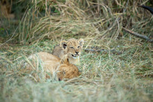Lion Cub Chewing On A Little P...