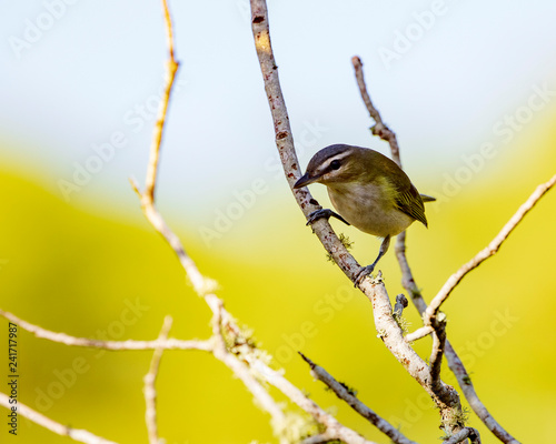 Fotografie, Obraz  A single inquisitive Red-eyed Vireo stops in it frenetic search for insects on a