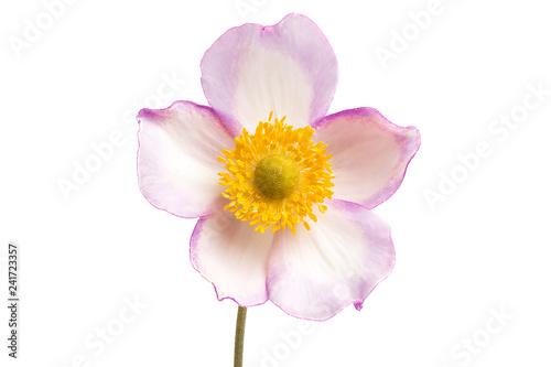 Stampa su Tela anemone hupehensis