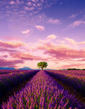 Fototapeta Lavender - Tree in lavender field at sunset in Provence