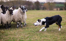 Border Collie Sheepdog Stalkin...