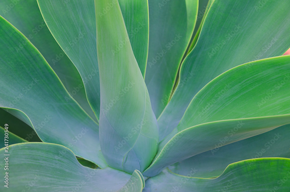 Fototapety, obrazy: Close up of big succulents leaves. Beautiful abstract succulent plant background. Modern macro nature image.