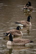 A Gaggle Of Geese On Water In A Symmetrical Formation.