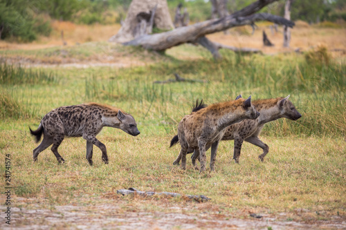 Cuadros en Lienzo A trio of hyenas in the Moremi Game Reserve in Botswana