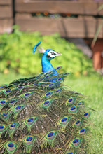 Peacock Folding His Tail Feathers