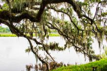 Spanish Moss At The Magnolia Plantation In Charleston South Carolina