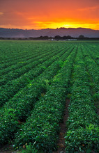 Pepper Fields At Sunset Near Santa Cruz, CA.