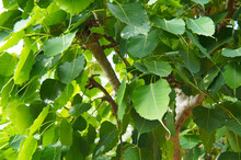 Ficus Religiosa  Or Bodhi Tree Green Leaves Close Up