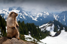 Marmot Looking At View