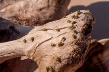 Spotted Cucumber Beetles On Driftwood