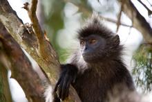 KUALA SELANGOR, MALAYSIA: A Wild Silver-leaf Monkey Relaxing In A Tree.