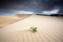 PISMO BEACH, CA: Sand Dunes At Pismo State Beach.