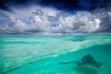 A Stingray Swimming Through Th...