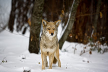 Portrait Of Coyote In Snow