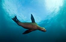 California Sea Lion Swimming Underwater
