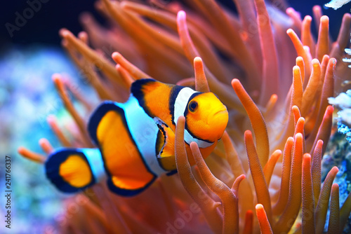 Fotografie, Tablou Amphiprion ocellaris clownfish in marine aquarium