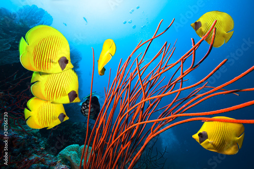 Staande foto Koraalriffen Underwater image of coral reef and School of Masked Butterfly Fish
