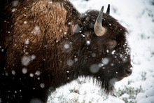 American Bison In Snow Storm