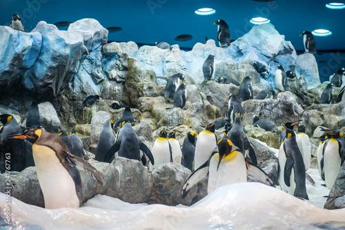 group of penguins in zoo - King Penguin Wallpaper Mural
