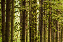 Trees Covered In Moss, Olympic National Park, Washington, USA