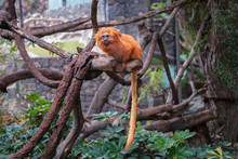 Golden Lion Tamarin Monkey - Golden Marmoset
