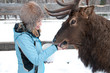 woman feeds Maral A large Siberian deer with big horns in winter