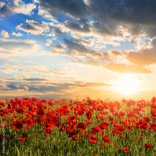 Fototapeta beautiful red poppy field at the sunset obraz na płótnie