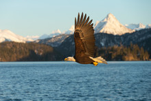 American Bald Eagle In Homer A...