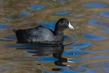 Black American Coot Bird Swims...