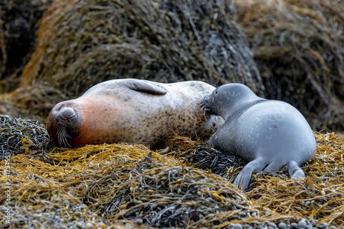 Photo  seal pup nursing