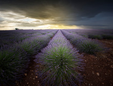 Lavender Field In The Momentop Of Bloom. At Sunset Endless Rows Of Purple Flowers Of Forgiveness On The Horizon. The Last Rays Of Sun In The Spring Clouds.