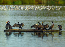 Group, Flock Of Black Cormorants With Outstretced Wings On Floating Platform