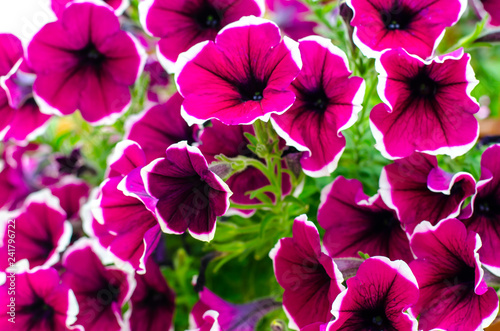 Aluminium Prints Pink Flowering petunia in garden landscape, design