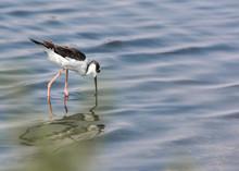 Black Necked Stilt Bird With R...