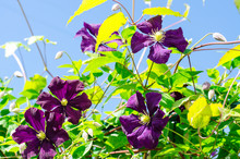 Purple Clematis Flowers On Background Of Blue Bright Sky