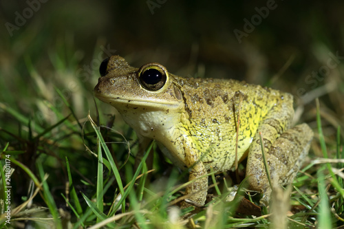 Canvas-taulu Cuban Treefrog (Osteopilus septentrionalis) in grass
