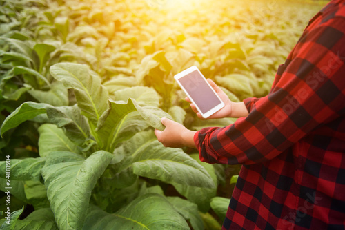 Fotografía  Examining the quality of tobacco farms by farmers using modern agricultural tech