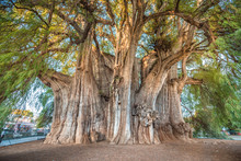 El Tule, The Biggest Tree Of T...