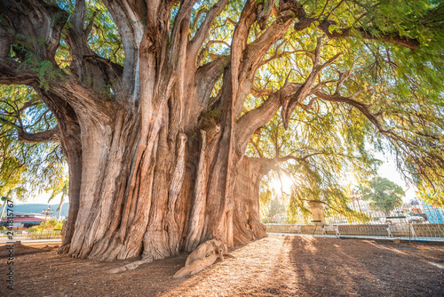 La pose en embrasure Route dans la forêt El Tule, the biggest tree of the world located in Oaxaca, Mexico