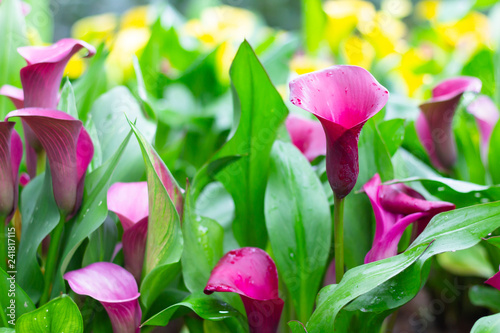 Fototapeta Colorful calla lily flowers meadow Spring nature background for graphic and card
