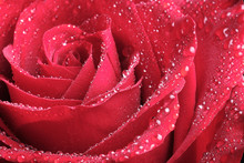 Close-up Of A Rose Bud With Water Drops On The Petals