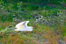 Snowy, White Heron Flying Over A River In The Early Afternoon