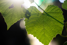 Ivy And Green Leaves