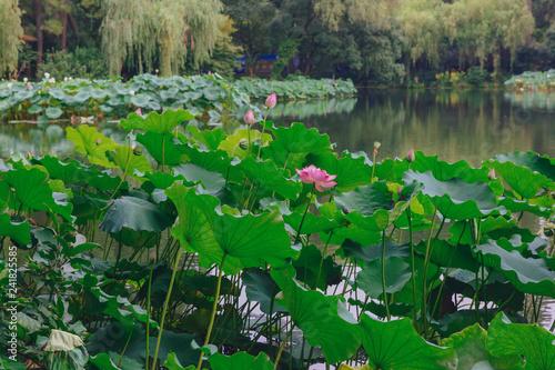 Deurstickers Groene Lotus flowers and leaves over water at West Lake, in Hangzhou, China