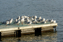 Bunch Of Gulls At Rest On Lake...