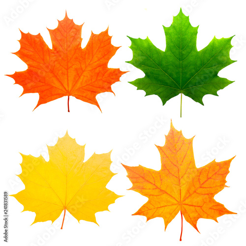 Fotografie, Obraz  four colorful maple leaves isolated on white background