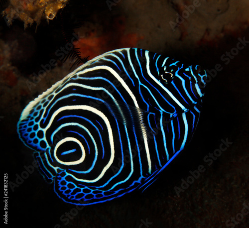Photo Juvenile Emperor Angelfish (Pomacanthus imperator)