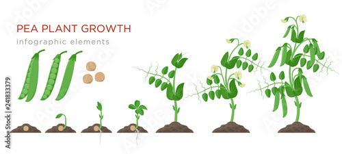 Fotografía Pea plant growth stages infographic elements in flat design